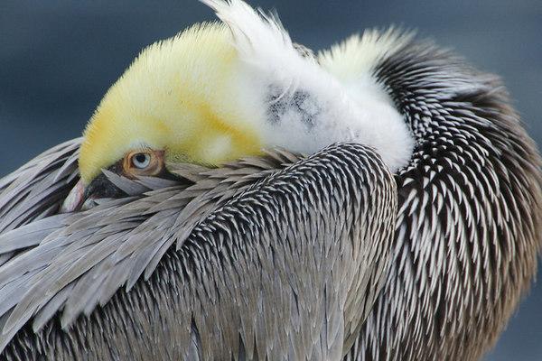Pelicans, Cormorants