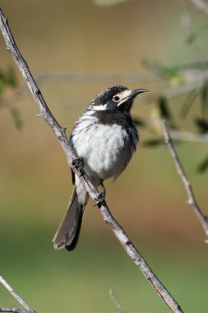 Honeyeaters and Chats- MELIPHAGIDAE