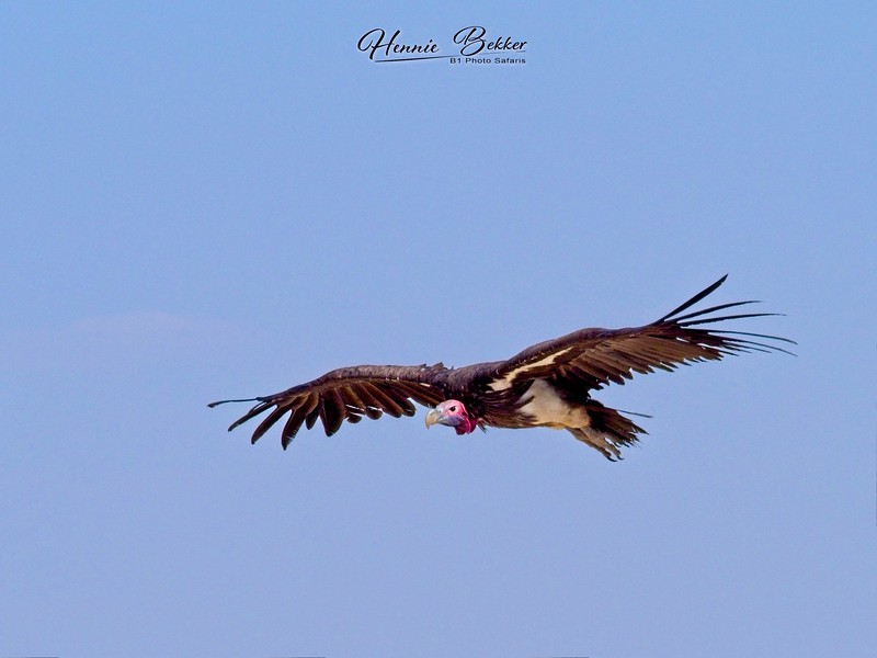 Lapedface Vulture Flying copy.jpg