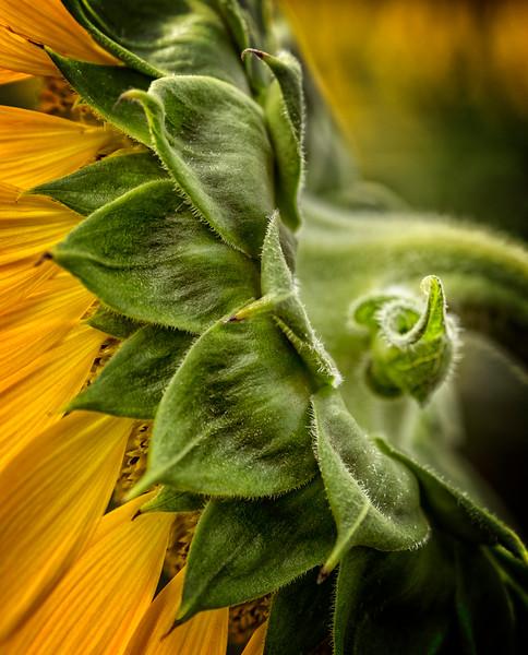 Sunflower_EAC6502.jpg