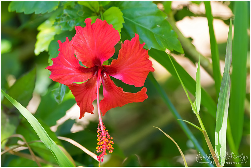 Red hibiscus ชบา