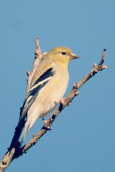 . . . and more American Goldfinches . . .