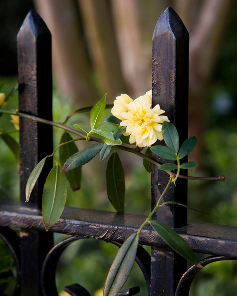 One more flower in the wrought iron.