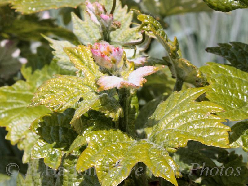 Pino Blanc flower