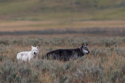 Alpha Wolves (Aug 25 Canyon Pack)