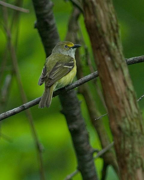 White-eyed Vireo  Shawnee Forest, Cincinnati