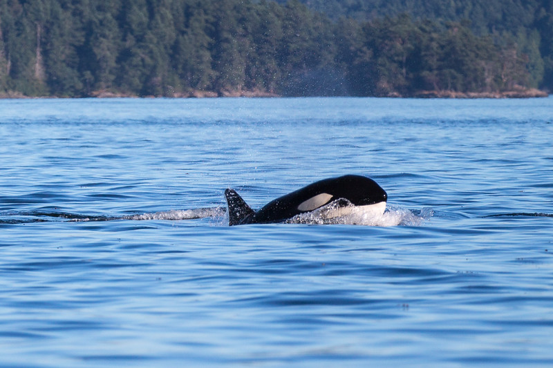 Orcas -  073115-579.jpg
