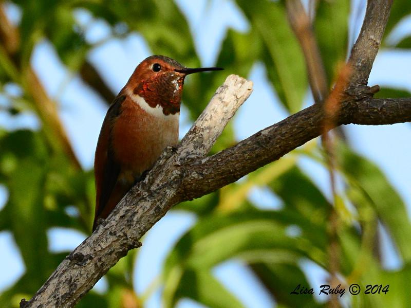 Allen's Hummingbird - 11/23/2014 - Sabre Springs