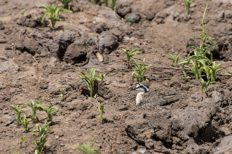 Kittlitz's Plover (Female) on nest