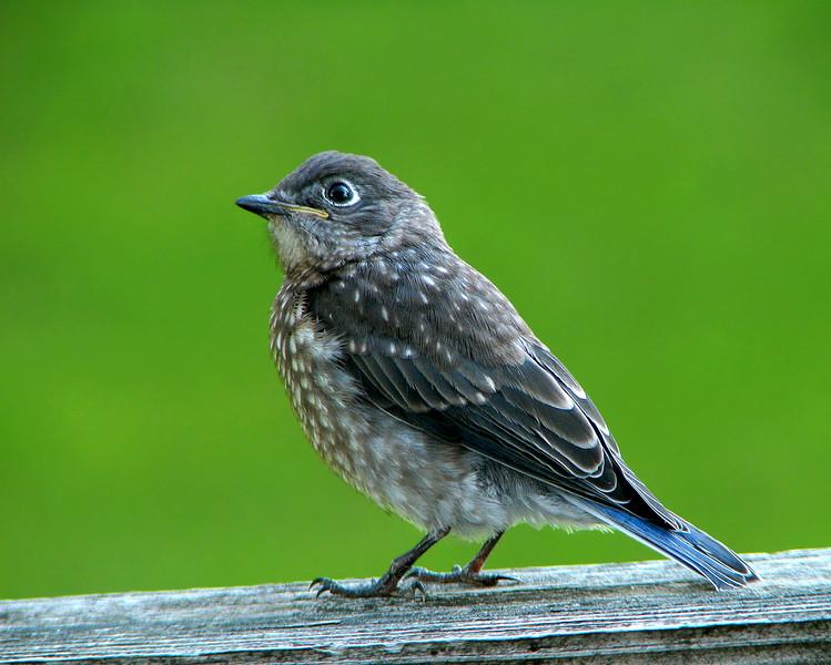 bluebird_fledgling_4591.jpg