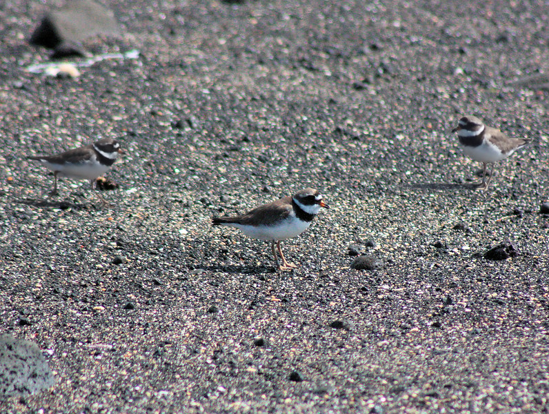 Ringed Plover Migratory