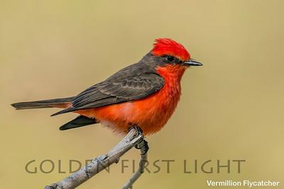 Vermillion Flycatcher, Big Morango Canyon CA, USA