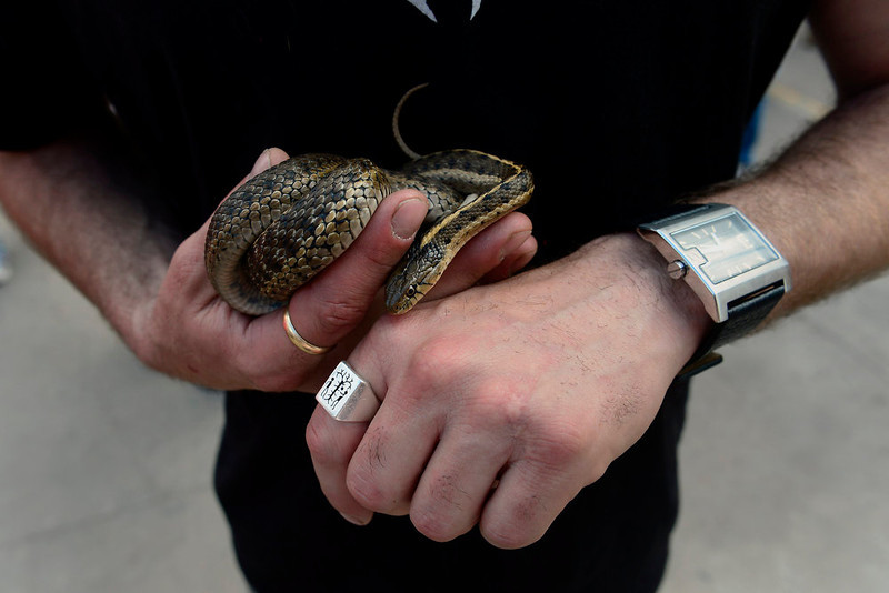 """. Matthew Albonizio, 38, of Denver, listens to the Buckner Funken Jazz band with his western garter snake at the Five Points Jazz Festival, May 18, 2013. \""""He\'s chillin\' diggin\' the vibe, I think, he\'s right at home,\"""" Albonizio says of his snake. (Photo By Mahala Gaylord/The Denver Post)"""