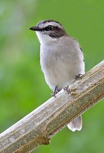 White-browed Robin (Poecilodryas superciliosa)