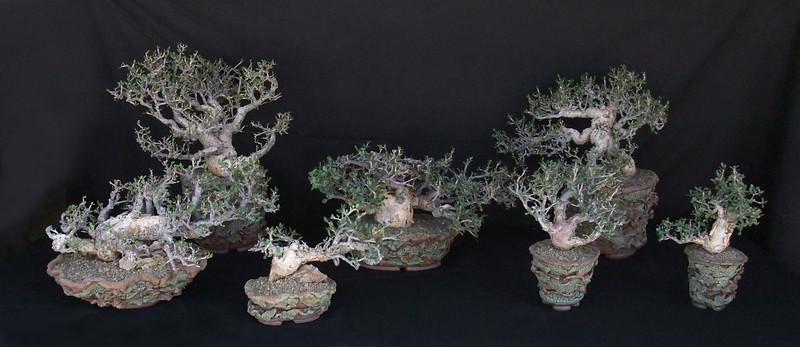 Bursera Simpicifolia 2010.jpg