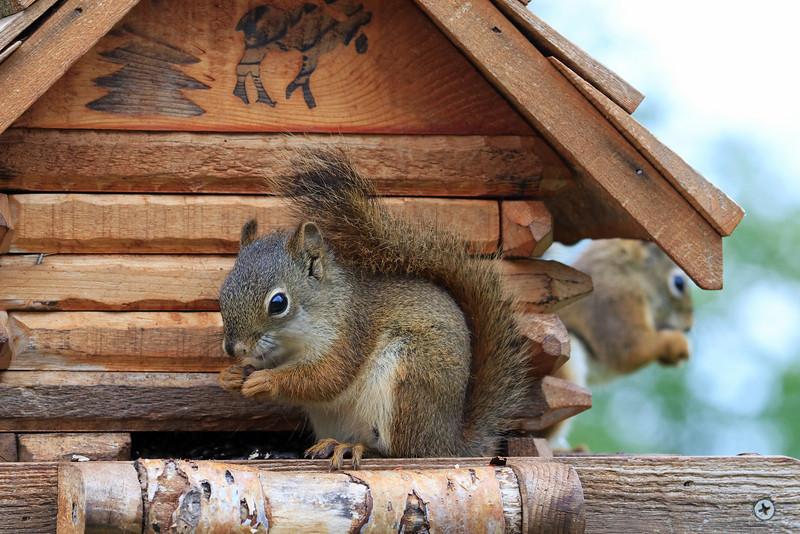 Squirrel Feed