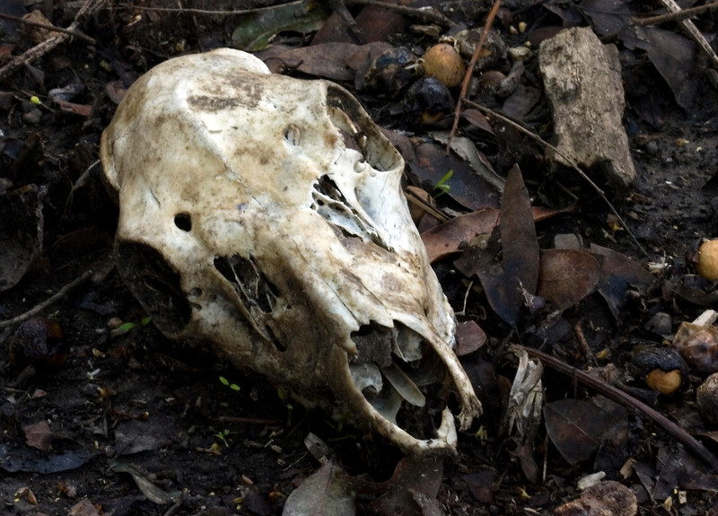 Deer skull found when tracking for bobcat in dense understory, Olema