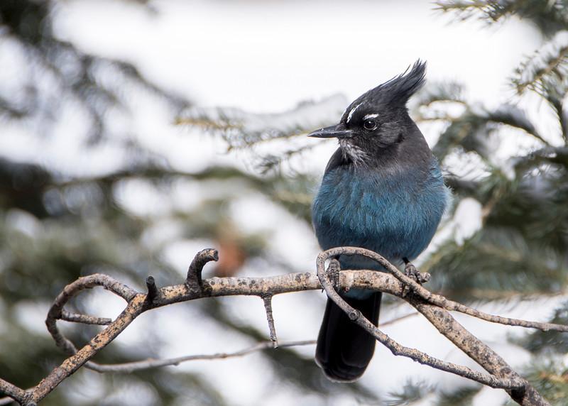 tell blue bird 2.jpg
