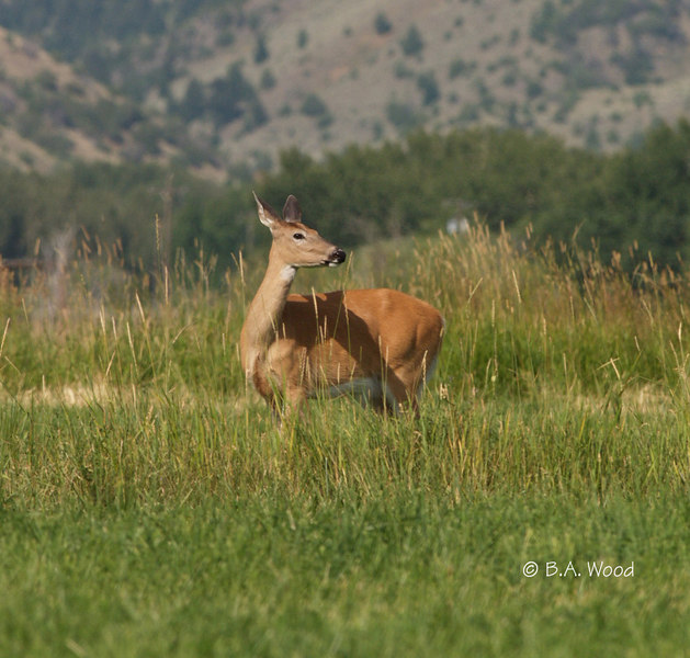 Whitetail Deer:  Does and Fawns
