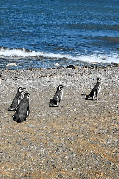 Penguin_Colony_083.jpg