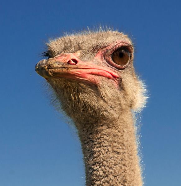 Ostrich-9.jpg