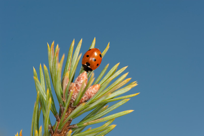 20090919as15-32-19 coccinella septempunctata, syvprikket marihøne