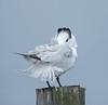 royal tern adult rests