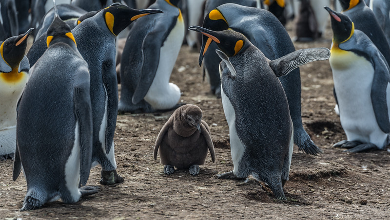 Parenting/ King Penguins