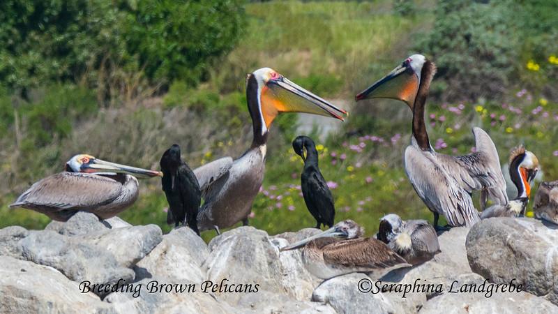 _DSC5064Breeding Pelicans.jpg