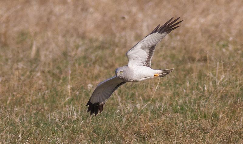 Northern Harrier Sax-Zim Bog MN-7896.jpg