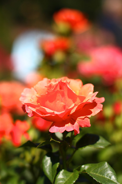 Portland International Rose Test Garden  2224.jpg