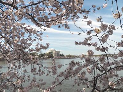 Washington DC  cherry blossoms, 2014