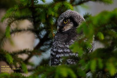 Owls Fledglings