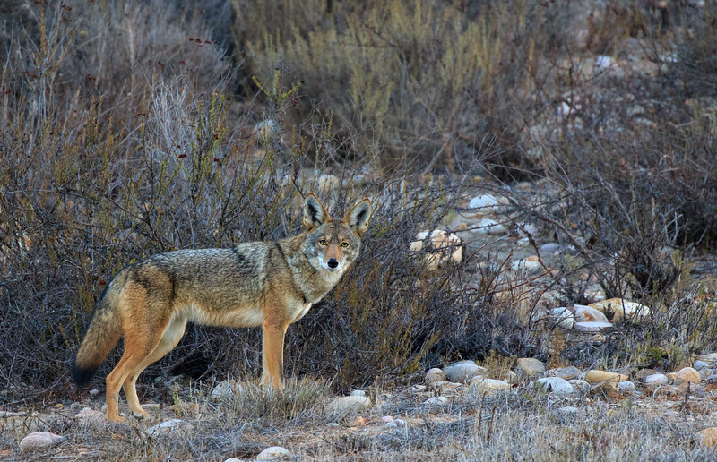 1 coyote website.jpg