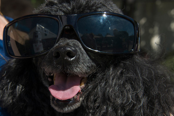 Black Poodle with Shades