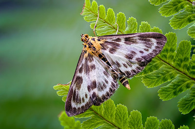 Wildlife:  Micro Moths
