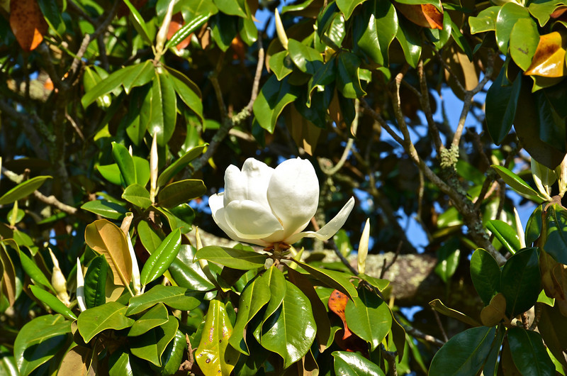 One of hundreds of Magnolia trees throughout the city.