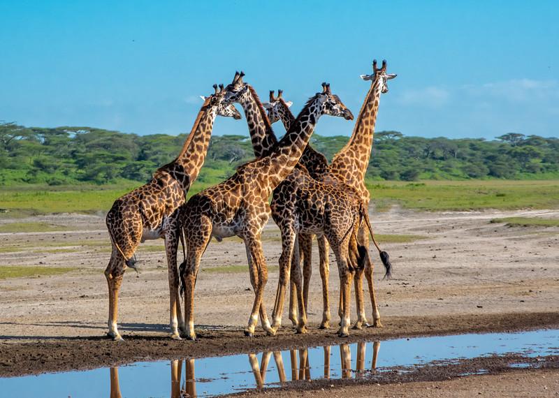 giraffes-112_0221_5679.jpg