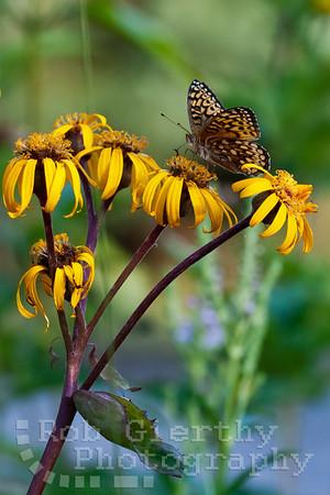 Butterflies in Schroon Lake 8/26/2012