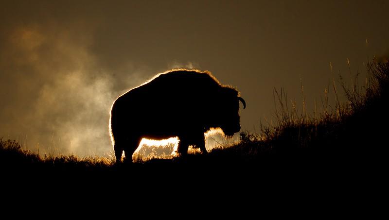Bison Teddy Roosevelt National Park Medora ND IMG_6340.jpg