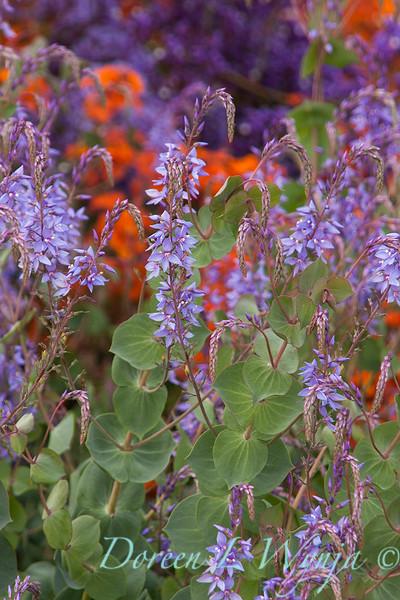 Parahebe perfoliata - purple_0595.jpg