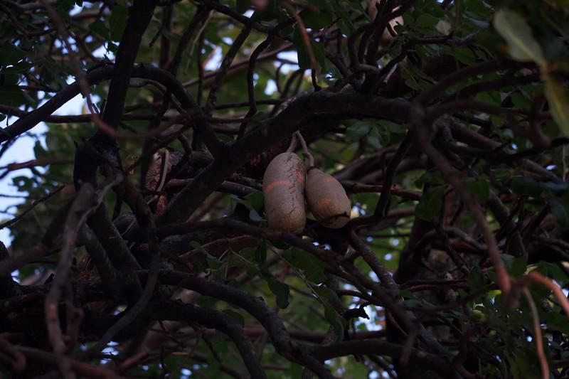 sausage fruit, Shinde camp, Botswana