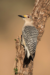 TX Workshop - Golden-fronted Woodpecker