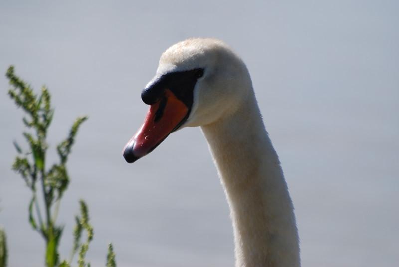 Mute Swan Portrait.JPG