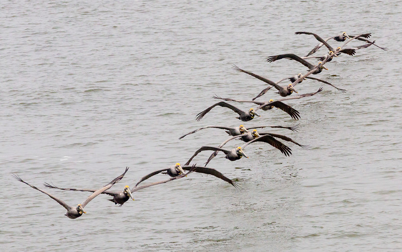 14 Brown Pelicans leave the water