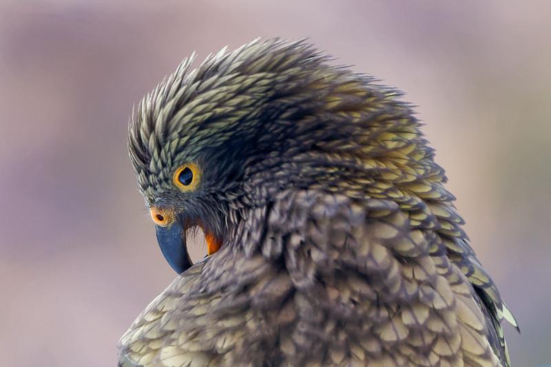 New Zealand Kea