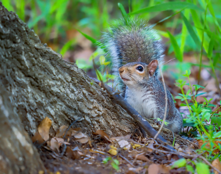 Squirrel in Raleigh (enhanced with Topaz AI tools)