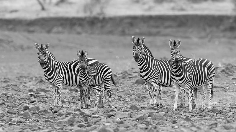 Burchell's Zebra, b&w, Mashatu GR, Botswana, May 2017-1.jpg