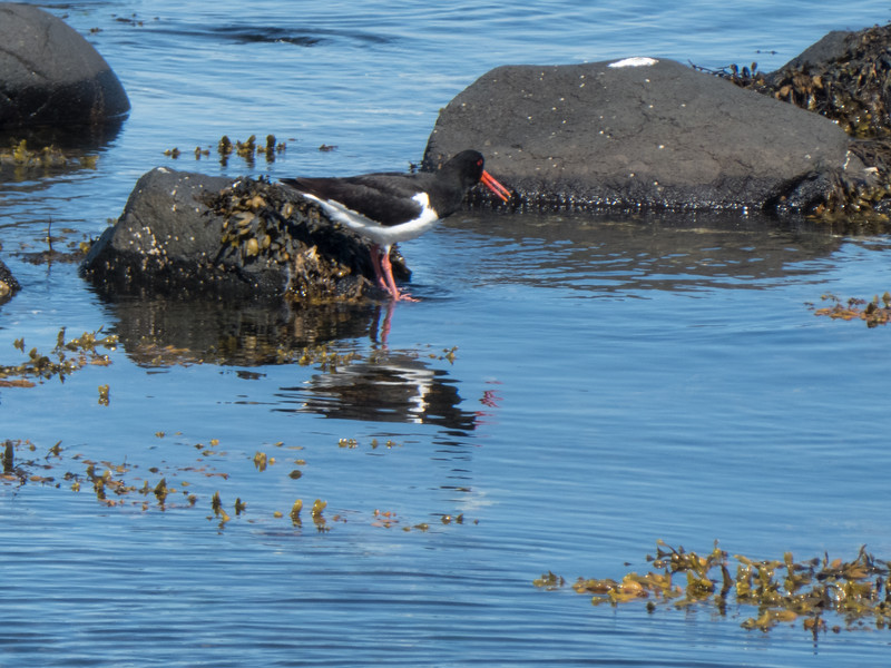 Oystercatcher in Ballintoy Harbour, County Antrim