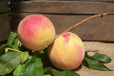 Gleason Elberta Peach (Lemon Elberta Peach)(Improved Elberta Peach) - Prunus persica sp.